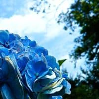 八月でも、青いアジサイも咲いと~る・畑えもん通信+
