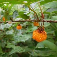 6月の赤い実、黄色い実。(6/6*水)