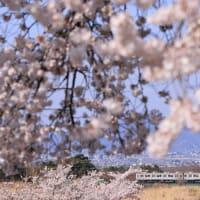 松川橋梁と満開の桜