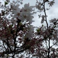 小田原城の桜と体メンテナンスはお早めに!