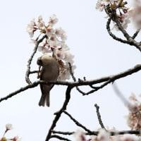 頭を掻く野鳥たち ニュウナイスズメ