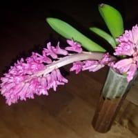 冬のお稽古の花 ヒヤシンス