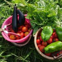 夏野菜 採れてます。