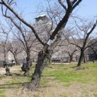 大阪城 枝垂れ桜・ヤツガシラ
