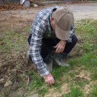 長ネギの苗床を除草