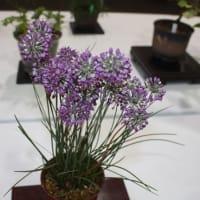 「おはようの花」 季節の山野草   ヤマラッキョウ 10月
