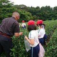 6月16日 御殿場南小3年生 お茶摘み体験