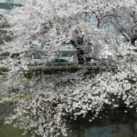 堀川沿いの桜2011 4
