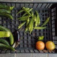 今日の収穫 キュウリ オクラ トマト ナス シロウリ