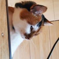 【92】れいにゃん堂のれいちゃん・フィギャアが&商品紹介😸