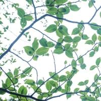 ナツツバキの葉
