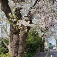 咲いてる桜も散る桜