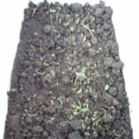 カモミールの芽です。