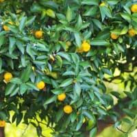 たのしい万葉集 橘のとをの橘八つ代にも・・・