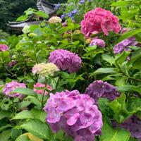 大平山の紫陽花