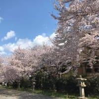 2020年 桜 満開