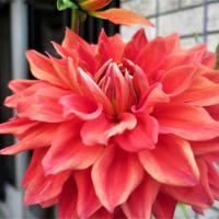 【第九回 ダリアの華展】②ダリアの市松模様< 一万輪のダリアの花で彩る 和の柄 >