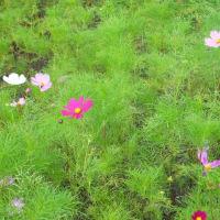 「コスモス」が咲き、秋みたい!