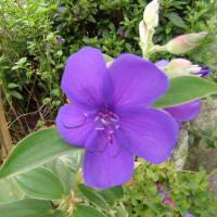 「おはようの花」 シコンノボタン(紫紺野牡丹) 10月