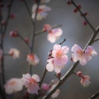 香る色、梅の春