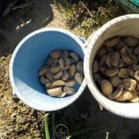 ジャガイモを植え付けました