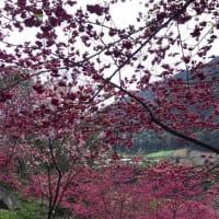 『桃花』を鑑賞しに出動して来ました。