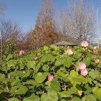 初冬に咲いている フヨウ 優しい色です =^_^=