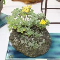 「おはようの花」 季節の山野草   イソギク(磯菊) 11月