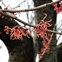 赤花マンサク
