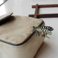 羽化したアゲハ蝶飛び立てず