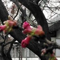 桜は桜でも淀の河津桜、つぼみ色づく