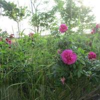 フォト旅日記zqt1201『 浜茄子の花 』