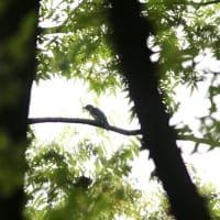 MFは楽しいけれど 鳥の判別が難しい位遠くに止まって・・・