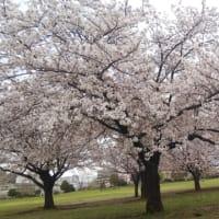 今日の歳時記、千本桜