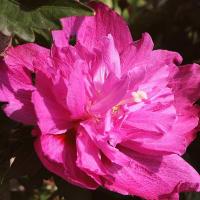 タチアオイ、ムクゲ - 八重咲きアオイ科