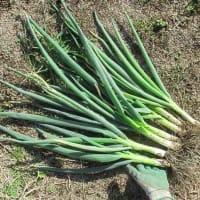 大台、20匹。葉ネギも収穫&試食します。