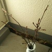 桜の枝を花瓶に