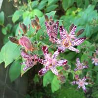 庭の植物ー14(ホトトギス)