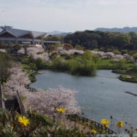 The last cherry blossoms of Heisei.