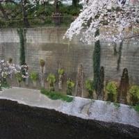 石神井川の桜並木見てきた。