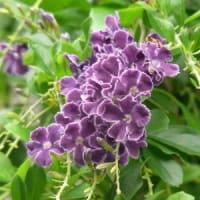 デュランタの花にクマンバチ
