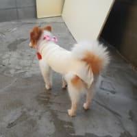 ブリーダー飼育放棄犬/メス3頭の避妊手術済みました