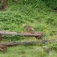 蓼科山荘 双子池ヒュッテ 野生のキツネ