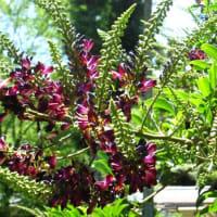<サッコウフジ(醋甲藤)> 紅紫色の総状花序を上向きに