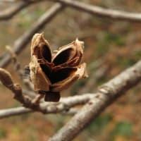 マルバマンサクの朔果