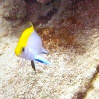 クロスズメダイの幼魚!