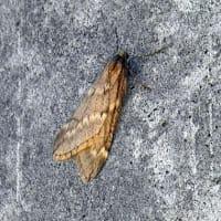 今の時期は昆虫は殆ど見掛けません、キバラケンモン、ワタフキカイガラムシ、他