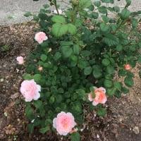 薔薇の引越し