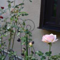 秋バラなど秋の花を楽しんでいます~♪  その1