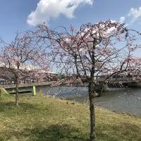 ブラオイラ#362(とりあえずの桜の木場潟周遊編)